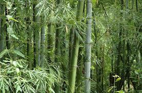 bambu tratado